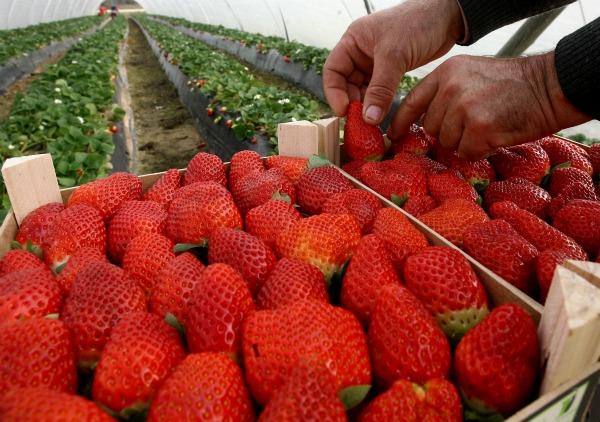 viveros herol produccion venta y distribucion de plantas de fresa